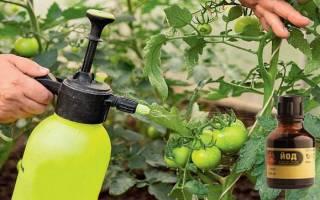 Как применять йод для томатов