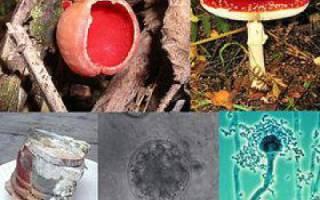 Какие грибы размножаются спорами