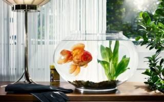 Какие виды золотых рыбок бывают