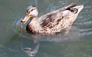Что едят дикие утки в природе