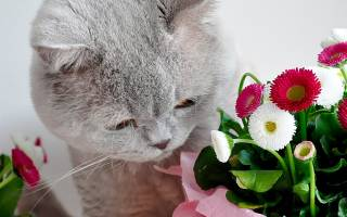 Какие особенности у Британской кошки