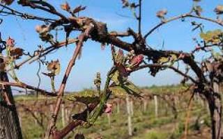 Когда открывать виноград весной