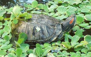 Где обитают красноухие черепахи