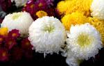 Когда сажать многолетние цветы