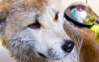 Можно ли купать собаку во время течки