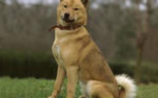 Какие существуют японские породы собак