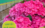 Как вырастить гортензию в саду
