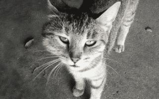 Что делать если кошку укусила оса