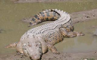 Кто такой гребнистый крокодил