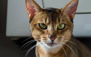 Почему кошка часто чешет уши