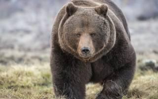 Почему медведь символ России