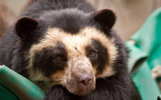 Как выглядит очковый медведь