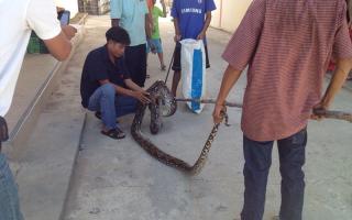 Какие змеи водятся в Таиланде