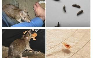 Какие болезни переносят крысы
