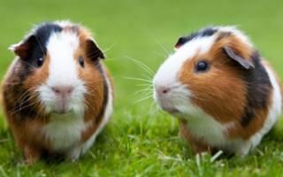 Почему морские свинки так называются