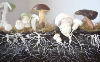 Каким образом размножаются грибы