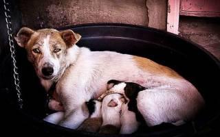 Сколько щенков может выкормить собака
