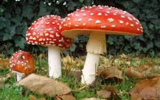 Какие шляпочные грибы существуют
