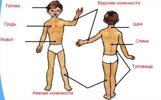Сколько частей тела у человека