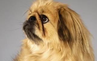 Какие самые глупые породы собак